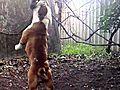 Brass Knuckle Bulldog Thirteen hitting the  | BahVideo.com