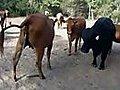 Bull Honkys Big Mistake  | BahVideo.com