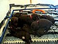 Kona Puppies Chocolate Labradoodle puppies    BahVideo.com