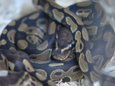 Boy left home alone with loose snakes | BahVideo.com