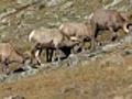 Grazing Bighorn Sheep in Rocky Mountain NP  | BahVideo.com