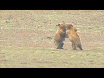 Boxing bears beef-up | BahVideo.com