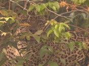 In Search of Jaguars | BahVideo.com