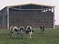 Cows On A Farm | BahVideo.com