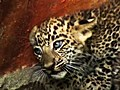 Abandoned Leopard Cubs Found In Well | BahVideo.com