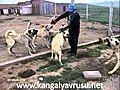 kangal yavrusu | BahVideo.com