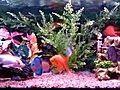 wrong mix Goldfish discus angelfish parrot    BahVideo.com