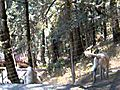 KANGAL DOGS PROTECTING THE BACK YARD KANGAL MEX    BahVideo.com