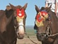Mongolian Horses Wearing Traditional Decoration | BahVideo.com