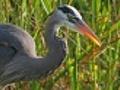 Blue heron close up | BahVideo.com