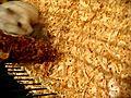 Chomiczy Gwalt Rape Hamster  | BahVideo.com