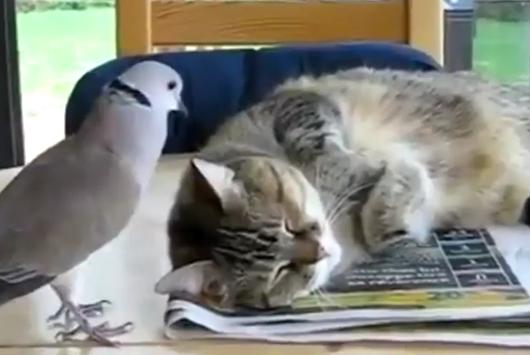 Dove Interrupts Catnap | BahVideo.com