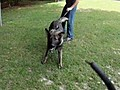 Specially Trained Guard Dogs Fetch Huge Prices | BahVideo.com