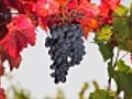 Black grape bunch | BahVideo.com