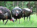 Wild Turkey displaying | BahVideo.com