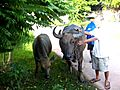 Thailand's Water Buffalo on the main road | BahVideo.com