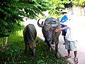 Thailand s Water Buffalo on the main road | BahVideo.com