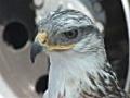 falcon | BahVideo.com