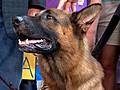 High-Priced Security Dogs amp 039 Skills Impress | BahVideo.com