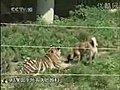 Kangal ve Aslan | BahVideo.com