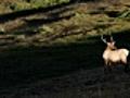 Bull Elk on Alpine Tundra in Rocky Mountain  | BahVideo.com