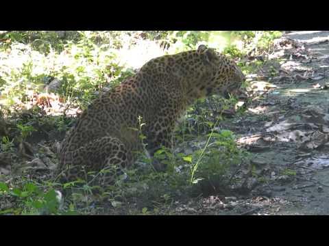Indian Leopard Safari - Exyi - Ex Videos | BahVideo.com