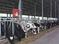 Cows In A Factory Farm | BahVideo.com