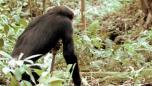 Chimp with a machete | BahVideo.com