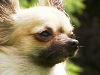 Chihuahua Sheepdog | BahVideo.com