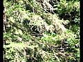 Redwoods canopy zip line tour | BahVideo.com