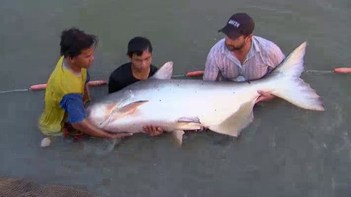 Monster Fish - Giants of Thailand | BahVideo.com