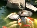 Little Duck Feeds Koi Carp | BahVideo.com