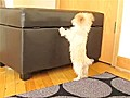Puppy Tries To Jump Over Obstacle | BahVideo.com