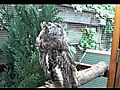 Welcome home Long-eared owl  | BahVideo.com
