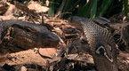 Cobra vs Monitor Lizard | BahVideo.com